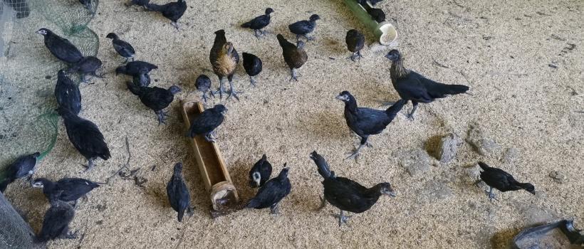 DOST Secretary Commends CSU's Native Black Chicken Project